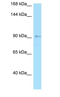 OPA1 antibody Western Blot of HT1080.  This image was taken for the unconjugated form of this product. Other forms have not been tested.