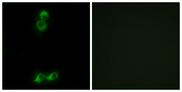 Immunofluorescence analysis of MCF7 cells, using OR10J5 Antibody. The picture on the right is blocked with the synthesized peptide.