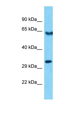 Western blot of Human HepG2. OR10R2 antibody dilution 1.0 ug/ml.  This image was taken for the unconjugated form of this product. Other forms have not been tested.
