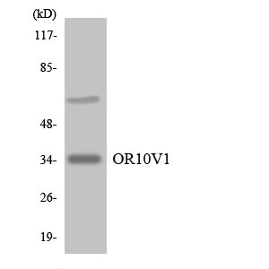 Western blot analysis of the lysates from Jurkat cells using OR10V1 antibody.