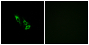 Immunofluorescence analysis of A549 cells, using OR10V1 Antibody. The picture on the right is blocked with the synthesized peptide.