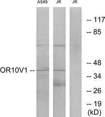 Western blot analysis of lysates from A549 and Jurkat cells, using OR10V1 Antibody. The lane on the right is blocked with the synthesized peptide.