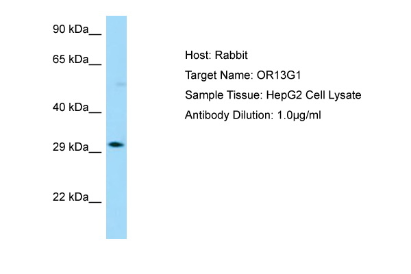 OR13G1 Antibody -  This image was taken for the unconjugated form of this product. Other forms have not been tested.