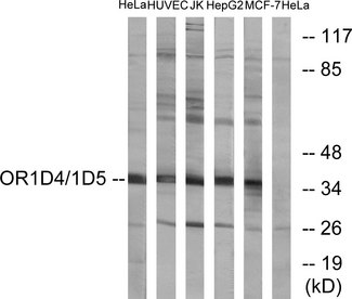 OR1D4+5 Antibody - Western blot analysis of lysates from HeLa, HUVEC, Jurkat, HepG2, and MCF-7 cells, using OR1D4/5 Antibody. The lane on the right is blocked with the synthesized peptide.