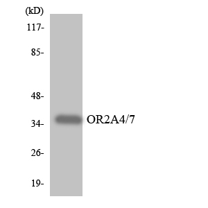 OR2A4+7 Antibody - Western blot analysis of the lysates from HeLa cells using OR2A4/7 antibody.