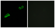Immunofluorescence analysis of MCF7 cells, using OR2AT4 Antibody. The picture on the right is blocked with the synthesized peptide.