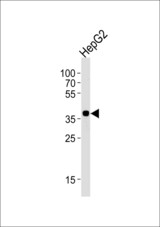 Western blot of lysate from HepG2 cell line, using OR2M7 Antibody. Antibody was diluted at 1:1000 at each lane. A goat anti-rabbit IgG H&L (HRP) at 1:5000 dilution was used as the secondary antibody. Lysate at 35ug per lane.
