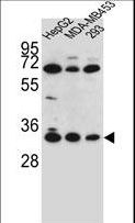 OR2T3 Antibody western blot of HepG2,MDA-MB453,293 cell line lysates (35 ug/lane). The OR2T3 antibody detected the OR2T3 protein (arrow).