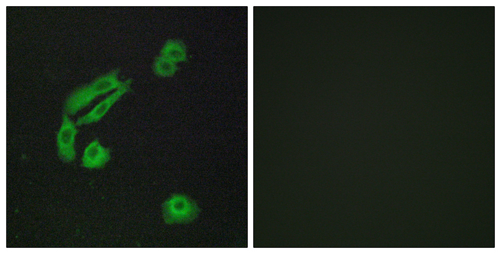 OR4C13 Antibody - Immunofluorescence analysis of A549 cells, using OR4C13 Antibody. The picture on the right is blocked with the synthesized peptide.