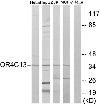 Western blot analysis of lysates from HeLa, Jurkat, HepG2, and MCF-7 cells, using OR4C13 Antibody. The lane on the right is blocked with the synthesized peptide.