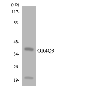 OR4Q3 Antibody - Western blot analysis of the lysates from 293 cells using OR4Q3 antibody.