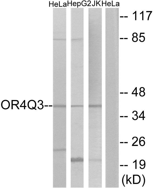 OR4Q3 Antibody - Western blot analysis of lysates from HeLa, Jurkat, and HepG2 cells, using OR4Q3 Antibody. The lane on the right is blocked with the synthesized peptide.