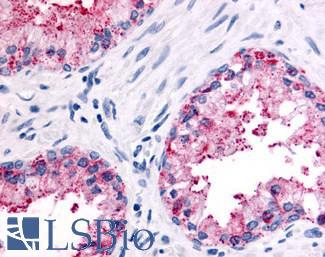 Anti-OR51E2 antibody LS-A6332 IHC of human prostate, epithelium. Immunohistochemistry of formalin-fixed, paraffin-embedded tissue after heat-induced antigen retrieval.