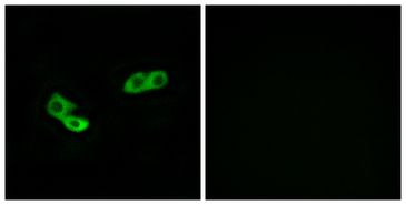 OR56A3 Antibody - Immunofluorescence analysis of LOVO cells, using OR56A3 Antibody. The picture on the right is blocked with the synthesized peptide.