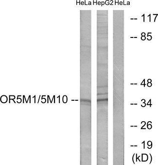 OR5M1+10 Antibody - Western blot analysis of lysates from HeLa and HepG2 cells, using OR5M1/5M10 Antibody. The lane on the right is blocked with the synthesized peptide.