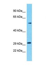 OR5M10 Antibody - Western blot of Human HT1080. OR5M10 antibody dilution 1.0 ug/ml.  This image was taken for the unconjugated form of this product. Other forms have not been tested.