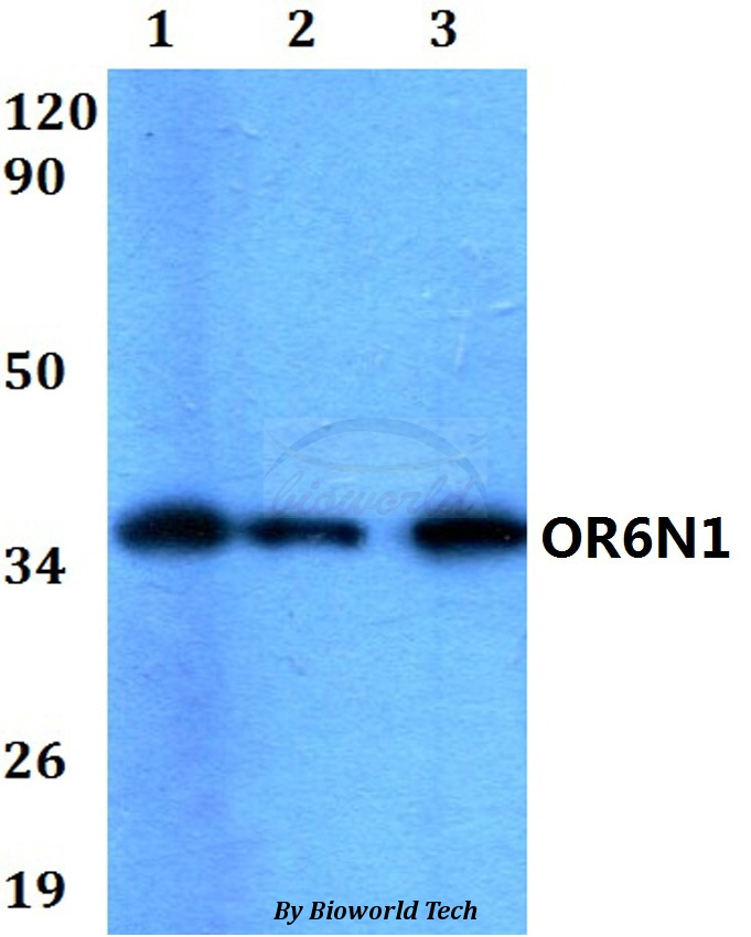 Western blot of OR6N1 antibody at 1:500 dilution. Lane 1: HEK293T whole cell lysate. Lane 2: Raw264.7 whole cell lysate. Lane 3: H9C2 whole cell lysate.