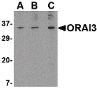 Western blot of ORAI3 in A20 cell lysate with ORAI3 antibody at (A) 1, (B) 2 and (C) 4 ug/ml.