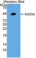 Western blot of recombinant Orexin A.