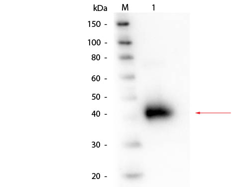 ORM1 / Orosomucoid Antibody - Western Blot of Alpha-1-Acid Glycoprotein (Human Plasma) Antibody. Lane 1: Alpha-1-Acid Glycoprotein (Human Plasma). Load: 50 ng. Primary antibody: Alpha-1-Acid Glycoprotein (Human Plasma) antibody at 1:1,000 overnight at 4°C. Secondary antibody: HRP conjugated rabbit secondary antibody at 1:40,000 for 30 min at RT. Block: MB-070 for 30 min at RT. Predicted/Observed size: Predicted at 24 kDa/Observed - 40 kDa; protein migrates at 40 kDa.