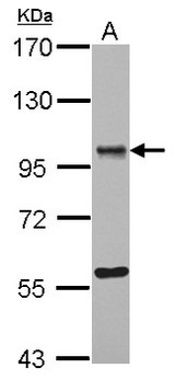 Sample (30 ug of whole cell lysate) A: K562 7.5% SDS PAGE OSBPL9 antibody diluted at 1:1000