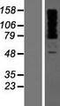 OTUD4 Protein - Western validation with an anti-DDK antibody * L: Control HEK293 lysate R: Over-expression lysate