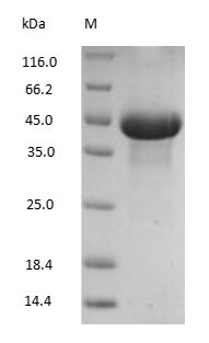 Ovalbumin Protein - (Tris-Glycine gel) Discontinuous SDS-PAGE (reduced) with 5% enrichment gel and 15% separation gel.