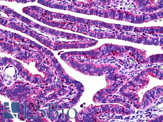 Anti-OVGP1 antibody IHC of human fallopian tube. Immunohistochemistry of formalin-fixed, paraffin-embedded tissue after heat-induced antigen retrieval. Antibody LS-B5094 concentration 5 ug/ml.