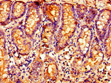 Immunohistochemistry image of paraffin-embedded human small intestine tissue at a dilution of 1:100