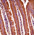 Mouse Oxsr1 Antibody immunohistochemistry of formalin-fixed and paraffin-embedded mouse duodenum tissue followed by peroxidase-conjugated secondary antibody and DAB staining.