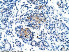 P2RX1 / P2X1 Antibody - P2RX1 / P2X1 antibody ARP35105_T100-NP_002549-P2RX1(purinergic receptor P2X, ligand-gated ion channel, 1) Antibody was used in IHC to stain formalin-fixed, paraffin-embedded human pancreas.  This image was taken for the unconjugated form of this product. Other forms have not been tested.
