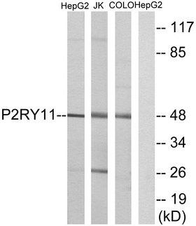 P2RY11 / P2Y11 Antibody - Western blot analysis of lysates from HepG2, Jurkat, and COLO cells, using P2RY11 Antibody. The lane on the right is blocked with the synthesized peptide.