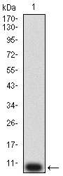 P2RY12 / P2Y12 Antibody - Western blot analysis using P2RY12 mAb against human P2RY12 (AA: extra mix) recombinant protein. (Expected MW is 9.4 kDa)