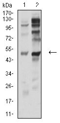 Western blot analysis using P2RY12 mouse mAb against PC-3 (1) and C6 (2) cell lysate.