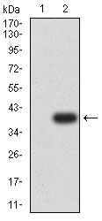 P2RY12 / P2Y12 Antibody - Western blot analysis using P2RY12 mAb against HEK293 (1) and P2RY12 (AA: extra mix)-hIgGFc transfected HEK293 (2) cell lysate.