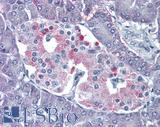 Anti-P2RY4 / P2Y4 antibody IHC of human pancreas. Immunohistochemistry of formalin-fixed, paraffin-embedded tissue after heat-induced antigen retrieval.