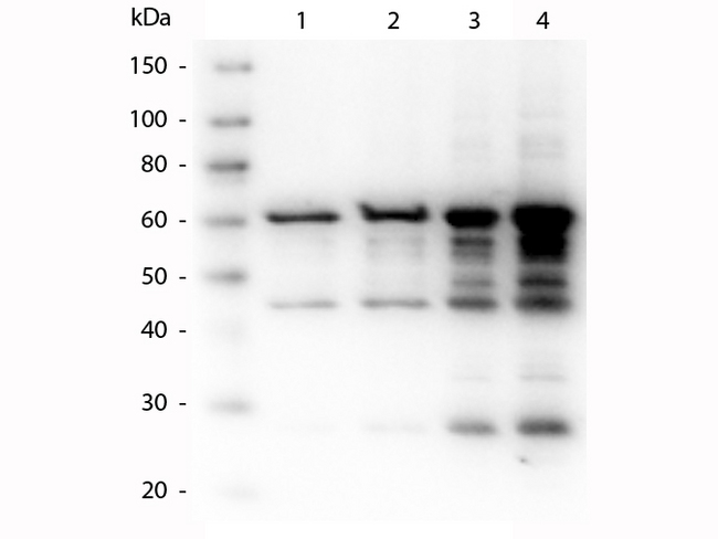 p35 Antibody - Western Blot of rabbit anti-p35 antibody. Lane 1: p35 recombinant protein 50 ng load. Lane 2: p35 recombinant protein 100 ng load. Lane 3: p35 recombinant protein 250 ng load. Lane 4: p35 recombinant protein 500 ng load. Primary antibody: p35 antibody at 1:1,000 for overnight at 4°C. Secondary antibody: Peroxidase rabbit secondary antibody at 1:40,000 for 30 min at RT. Block: MB-070 for 30 min at RT. Predicted/Observed size: 60 kDa, 60 kDa for p35. Other band(s): p35 splice variants and isoforms.