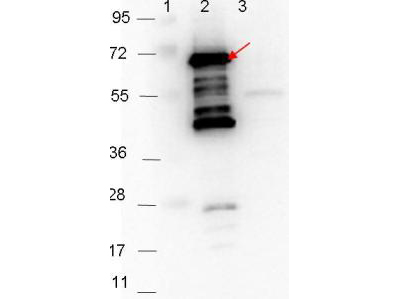 p35 Antibody - Western blot showing detection of 0.1 µg of recombinant p35 protein. Lane 1: Molecular weight markers. Lane 2: MBP-p35 fusion protein (arrow; expected MW: 69.5 kDa). Lane 3: MBP alone. Protein was run on a 4-20% gel, then transferred to 0.45 µm nitrocellulose. After blocking with 1% BSA-TTBS overnight at 4°C, primary antibody was used at 1:1000 at room temperature for 30 min. HRP-conjugated Goat-Anti-Rabbit secondary antibody was used at 1:40,000 in MB-070 blocking buffer and imaged on the VersaDoc MP 4000 imaging system (Bio-Rad).