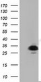 HEK293T cells were transfected with the pCMV6-ENTRY control (Left lane) or pCMV6-ENTRY PYCR2 (Right lane) cDNA for 48 hrs and lysed. Equivalent amounts of cell lysates (5 ug per lane) were separated by SDS-PAGE and immunoblotted with anti-PYCR2.