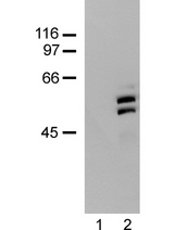 WB: no primary antibody (lane 1); and A431 cell lysate probed with anti-SHC (lane 2)