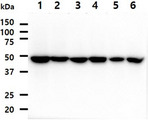The cell lysates (40ug) were resolved by SDS-PAGE, transferred to PVDF membrane and probed with anti-human PA2G4 antibody (1:1000). Proteins were visualized using a goat anti-mouse secondary antibody conjugated to HRP and an ECL detection system. Lane 1. : HeLa cell lysate Lane 2. : MCF7 cell lysate Lane 3. : A549 cell lysate Lane 4. : 293T cell lysate Lane 5. : A431 cell lysate Lane 6. : Jurkat cell lysate