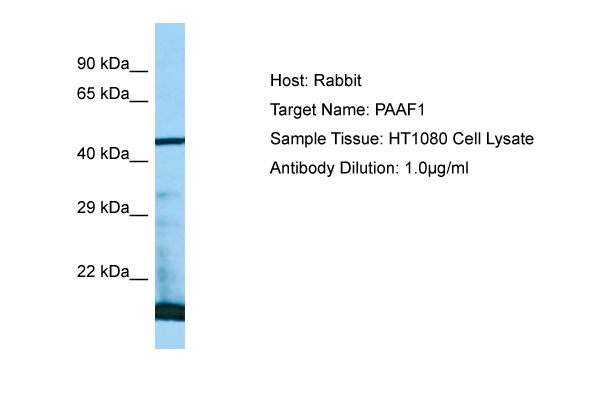 PAAF1 Antibody -  This image was taken for the unconjugated form of this product. Other forms have not been tested.