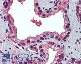 Anti-PABPN1 antibody IHC of human prostate. Immunohistochemistry of formalin-fixed, paraffin-embedded tissue after heat-induced antigen retrieval. Antibody LS-B5706 concentration 5 ug/ml.  This image was taken for the unconjugated form of this product. Other forms have not been tested.