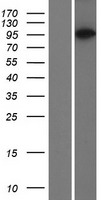 PACS2 Protein - Western validation with an anti-DDK antibody * L: Control HEK293 lysate R: Over-expression lysate