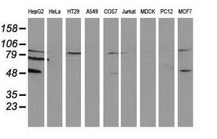 Western blot of extracts (35 ug) from 9 different cell lines by using anti-PACSIN3 monoclonal antibody (HepG2: human; HeLa: human; SVT2: mouse; A549: human; COS7: monkey; Jurkat: human; MDCK: canine; PC12: rat; MCF7: human).