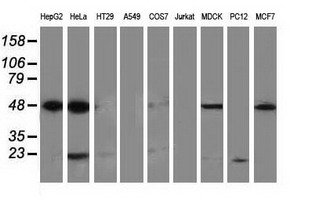 PACSIN3 Antibody - Western blot of extracts (35 ug) from 9 different cell lines by using anti-PACSIN3 monoclonal antibody (HepG2: human; HeLa: human; SVT2: mouse; A549: human; COS7: monkey; Jurkat: human; MDCK: canine; PC12: rat; MCF7: human).