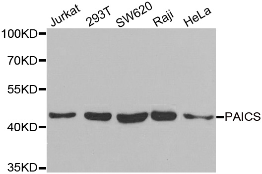 PAICS / ADE2 Antibody - Western blot analysis of extracts of various cell lines.