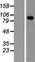 PAL / PAM Protein - Western validation with an anti-DDK antibody * L: Control HEK293 lysate R: Over-expression lysate