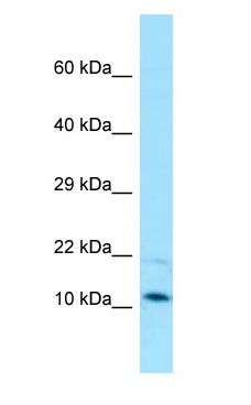 PAM16 antibody Western Blot of HepG2.  This image was taken for the unconjugated form of this product. Other forms have not been tested.