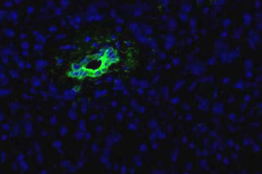 Pancreas Marker HPd2 Antibody - HPd2 Antibody (DHIC2-5H10) - HPd2 antibody (DHIC3-5H10) - Immunofluorescence on frozen section of human pancreas.  This image was taken for the unconjugated form of this product. Other forms have not been tested.